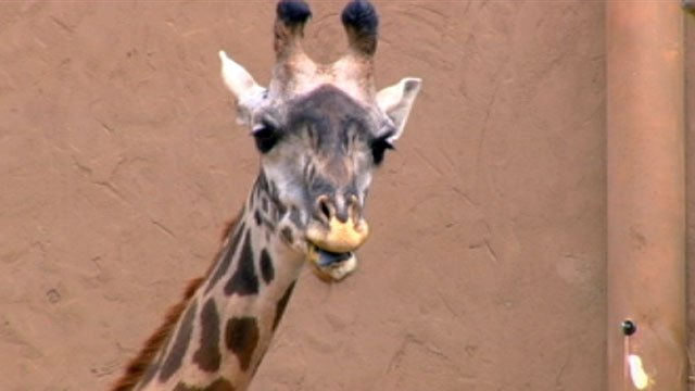Autumn the giraffe chews some grass while she awaits the arrival of the calf. (Oct. 3, 2012/FOX Carolina)