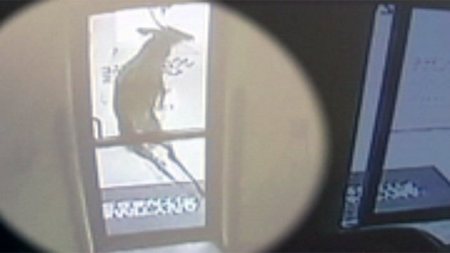 The deer jumps at one of Anytime Fitness' doors. (Courtesy Anytime Fitness)