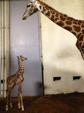 Autumn stands with her newborn calf. (Oct. 23, 2012/FOX Carolina)