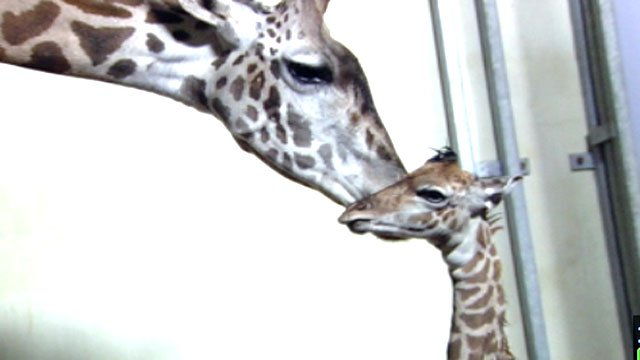 Autumn the giraffe nestles up to her calf a few hours after its birth. (Oct. 23, 2012/FOX Carolina)