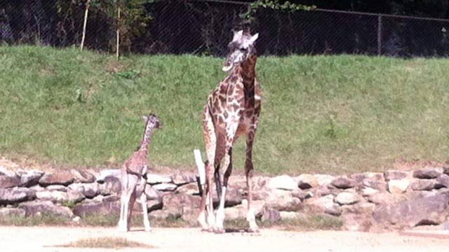 Autumn and her son Kiko in the exhibit for the first time. (Oct. 24, 2012/FOX Carolina)