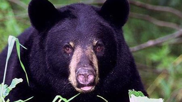 Hikers and campers are reminded to keep safe distances from black bears. (U.S. Dept. of Agriculture Forest Service)