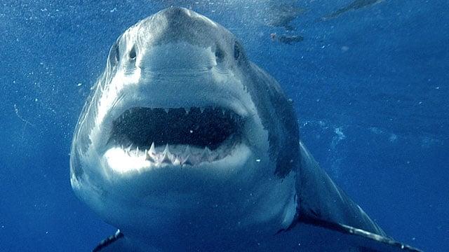 A great white shark swims off the coast of Isla Guadalupe near Baja California. (Kike Calvo via AP Images)
