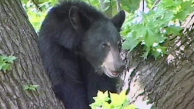 A black bear is spotted in the Upstate. (File/FOX Carolina)