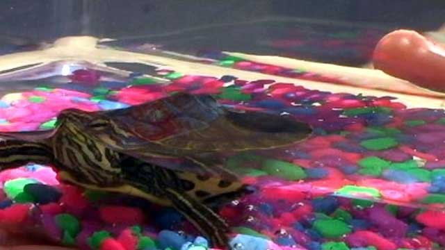 A turtle on display at the Jockey Lot in Anderson swims in an aquarium. (File/FOX Carolina)