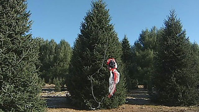 At a North Carolina farm, a ribbon marks the tree selected to be the White House Christmas Tree. (WBTV-TV)
