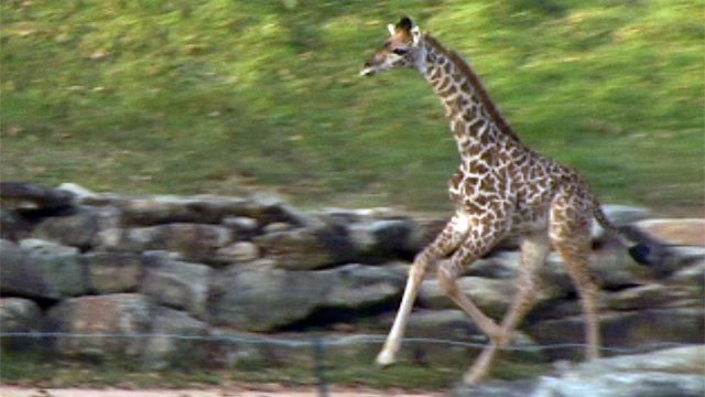 Kiko runs around the giraffe paddock after meeting his father Walter on Monday. (Nov. 19, 2012/FOX Carolina)
