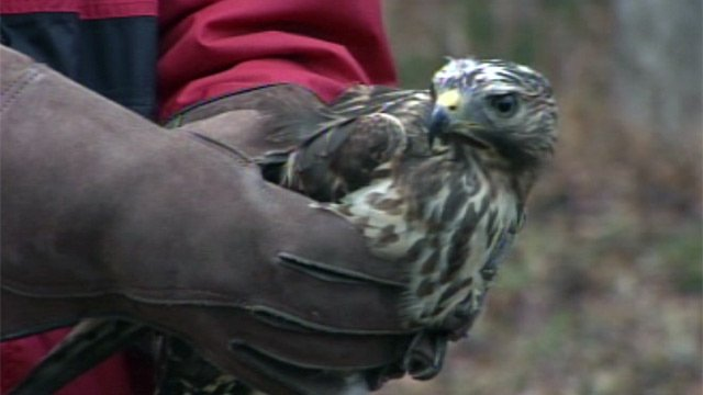 Joe Gagnon gets ready to release the hawk. (Nov. 27, 2012/FOX Carolina)