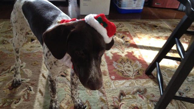 A family photo of 6-month-old German short haired pointer Lexi. (Courtesy Jason Tharp)