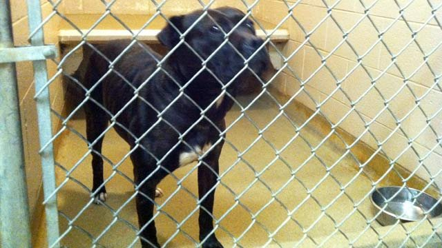 One of the dogs that was seized after the attack. (Jan. 9, 2013/FOX Carolina)