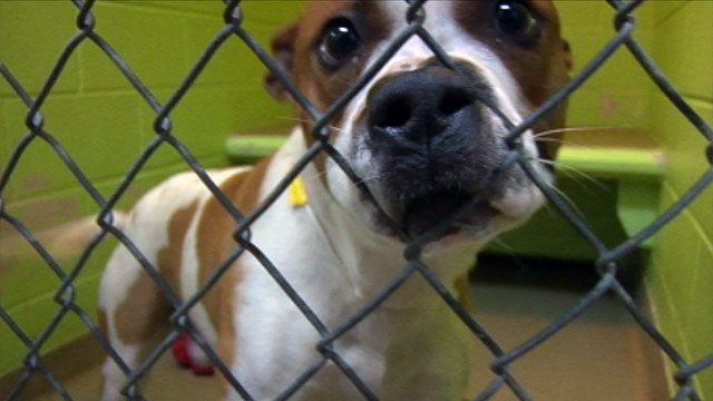 One of the Spartanburg Humane Society's pit bulls looking for a new home. (Jan. 14, 2013/FOX Carolina)
