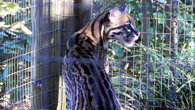 Evita is the new female Ocelot at the Greenville Zoo. (City of Greenville)