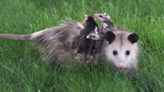 A mother opossum carries her babies on her back as she makes her way back to her den after a night out in a neighborhood on the far eastside of Indianapolis, Friday, May 12, 2000. (AP Photo/John Harrell)
