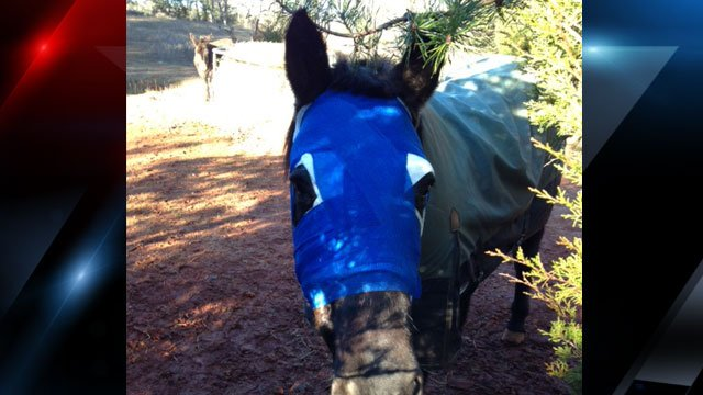 "A horse named ""Smoky Joe"" is bandaged after his owner says someone attacked him, severely injuring his face. (Jan Hudson)"