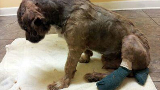 A puppy's leg and tail is bandaged after officials say it was run over or dragged. (Lori Jewell/Pet Tender Angels)