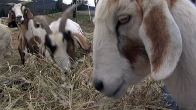 Goats munch on hay at a western North Carolina farm. (Feb. 28, 2013/FOX Carolina)