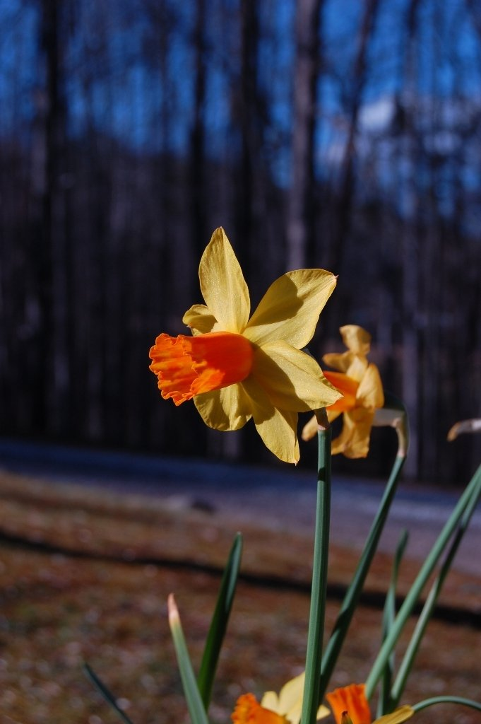 Daffodils from Nancy in Candler
