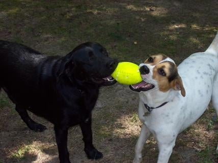 Here's the dynamic duo.  Best friends - Buddy & Duke (the lab).