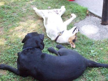 When Buddy & Duke aren't wrestling (rare), they enjoy some relaxation in the yard.