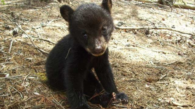 The bear cub found by a Chimney Rock State Park superintendent. (Source: Chimney Rock State Park)