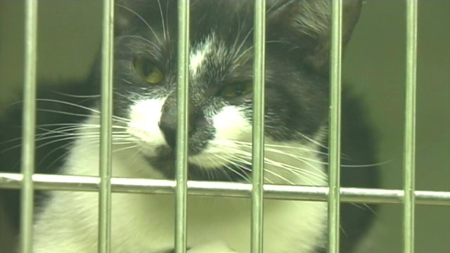 A cat awaits a new home at an Upstate shelter. (File/FOX Carolina)