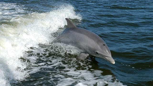 A wild dolphin swims in the ocean. (Source: NASA)