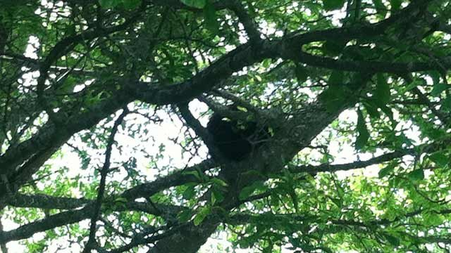The bear hiding in the tree in downtown Brevard. (May 29, 2013/FOX Carolina)
