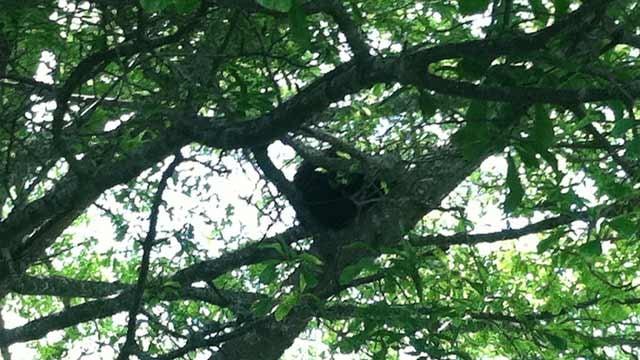 The bear hiding in the tree in downtown Brevard. (May 29, 2013/FOX Carolina)