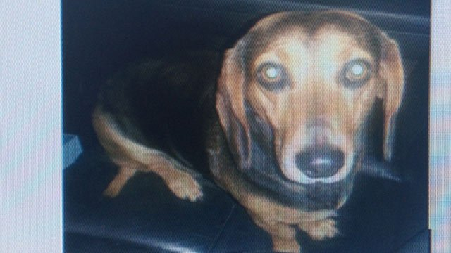 A photo of Chloe, who is a 4-year-old Beagle-Dachsund mix. (Source: Heather Welch)