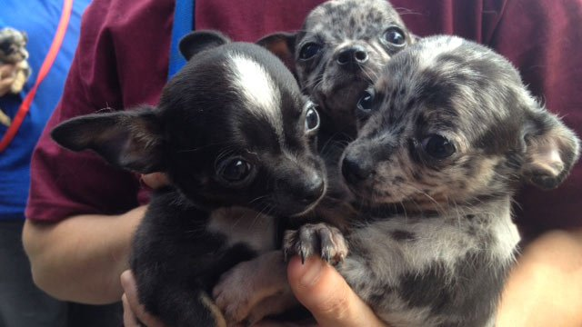 Some of the puppies brought to Greenville Co. Animal Care on Wednesday. (July 17, 2013/FOX Carolina)
