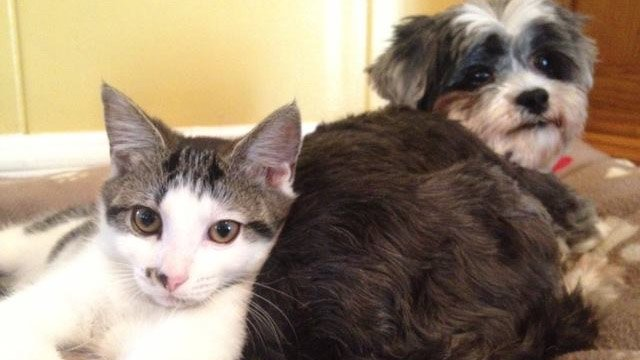 Kate the kitten and Goldie the dog, together in their forever home. (Aug. 7, 2013/FOX Carolina)
