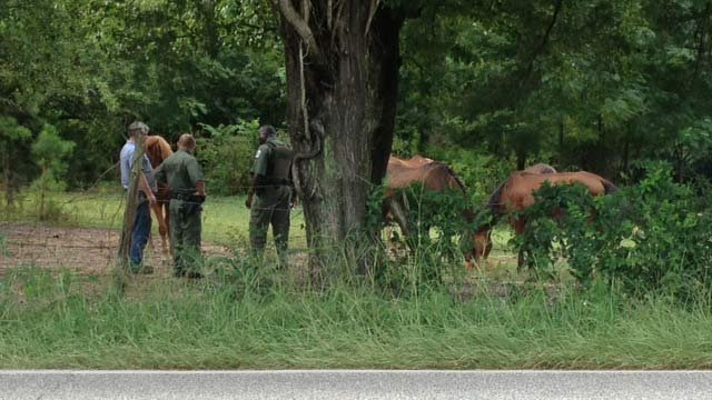 Deputies on the scene with the horses along Looper Road. (Aug. 21, 2013/FOX Carolina)