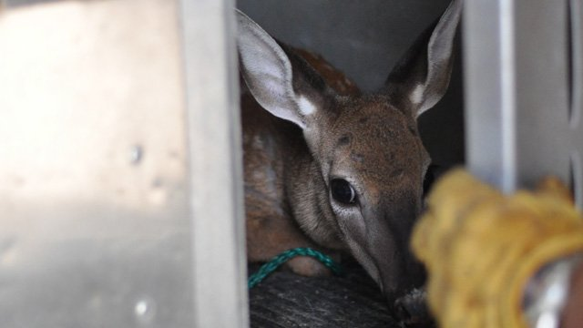 The yearling after it was rescued (Source: Greenville Animal Rescue)