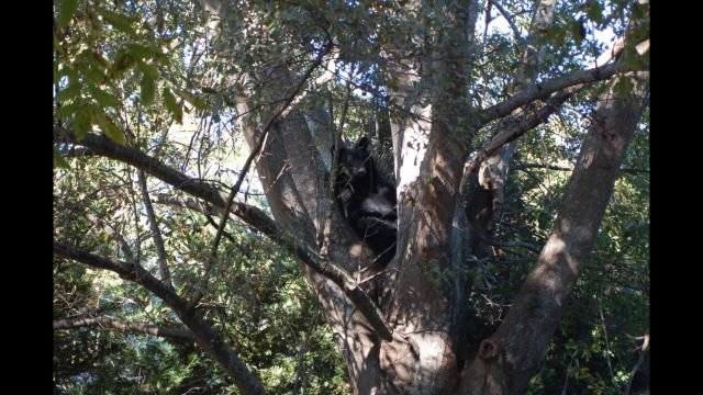 Bear spotted near downtown Liberty (courtesy: Liberty Police Dept.)