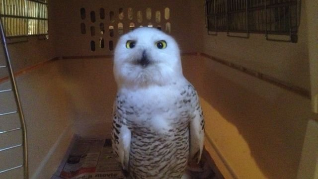 Tundra, a snowy owl who made her way to NC. (Dec. 18, 2013/FOX Carolina)