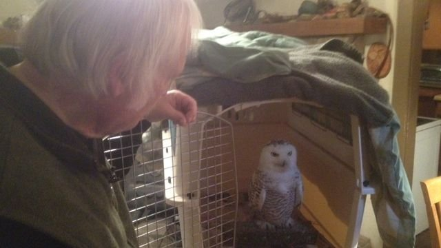Tundra, a snowy owl who made her way to NC. (Dec. 18, 2013/FOX Carolina)