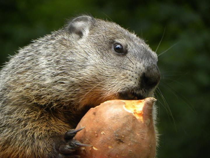 Grady the Groundhog (Courtesy: Chimney Rock State Park)