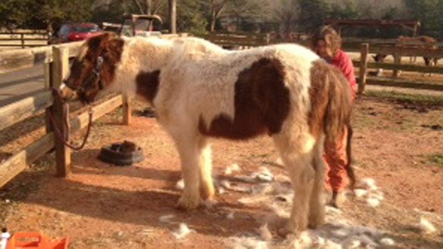 The rescued pony is groomed. (Feb. 17, 2014/FOX Carolina)