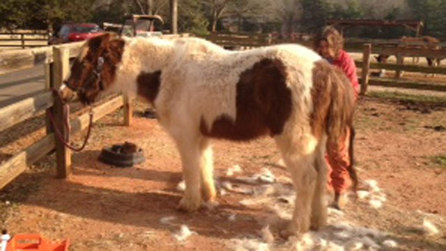The rescued pony is groomed. (Feb. 17, 2014/FOX Carolina)