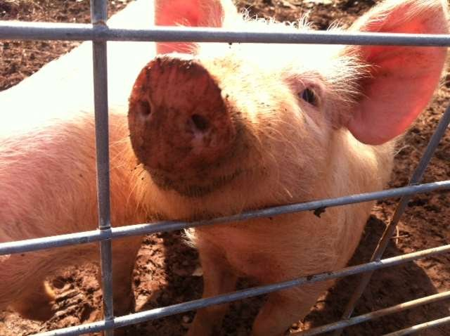The pig that found grenade. (Feb. 19, 2014/FOX Carolina)
