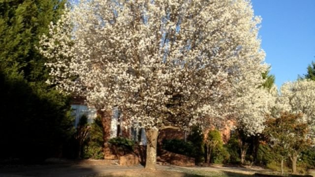Bradford Pears starting to bloom!