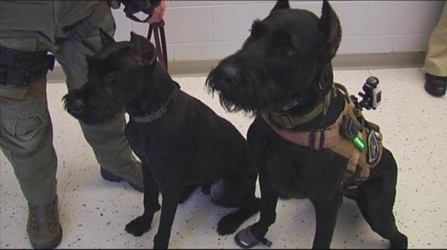 Two of the giant schnauzers training at the jail, Koah and Max. (March 24, 2014/FOX Carolina)