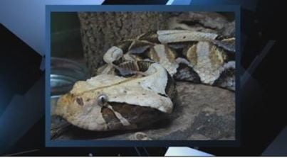 A Gaboon Viper, like this one, was on the loose Friday in Mount Pleasant (FOX Carolina)