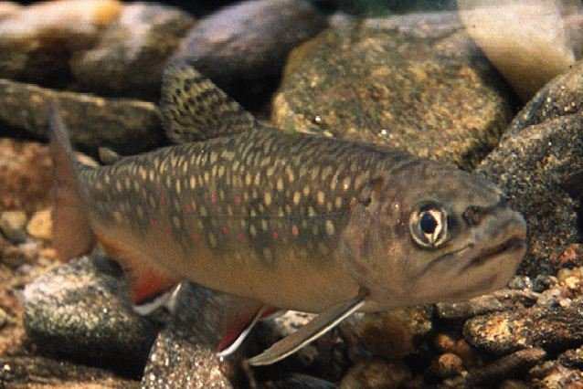 Trout season opens in WNC (Courtesy: NC Wildlife Resources Commission)