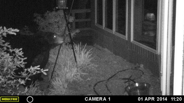 Paris mtn other areas see return of bears with warmer weather fox a paris mountain residents security camera caught this of a bear on april 1 publicscrutiny Choice Image