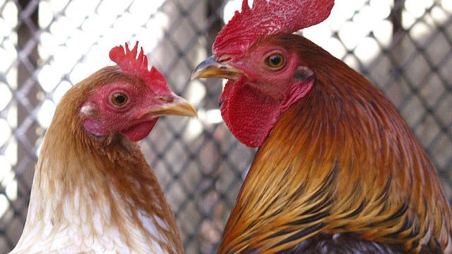 A hen and a rooster. (File/Associated Press)