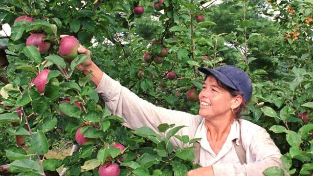 Woman picks apple from tree. (File/Associated Press)
