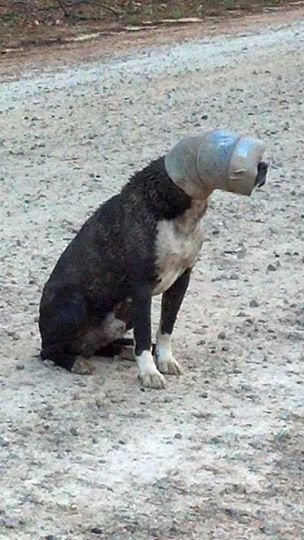 The stray dog with the pipe stuck on his head. (Source: Upstate Animal Rescue group)