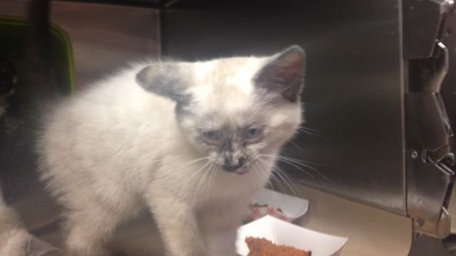 One of the Sherwood kittens at Greenville County Animal Care