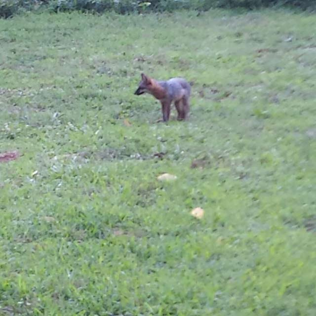 A witness took a picture of the fox before the reported attack. (Source: iWitness)